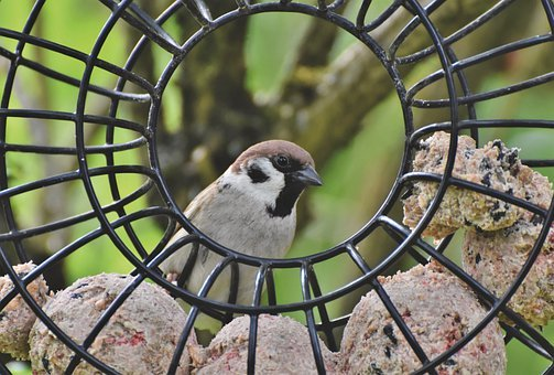 Sparrow, Sperling, Bird, Birdie, Plumage