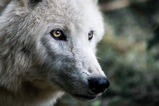 wolf 4483675 340