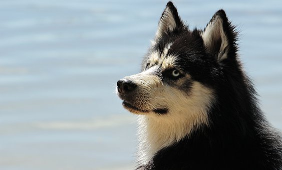 Husky, Dog, Dog Breed, Animal, Sled Dog