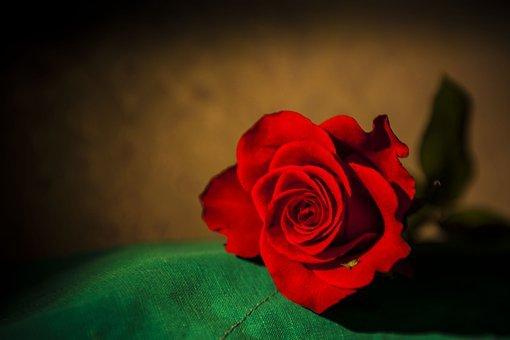 Rose, Flower, Petals, Bloom, Wedding